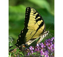 Eastern Tiger Swallowtail (Papilio glaucus) Photographic Print