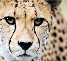 Cheetah by JaymeeLS