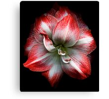 Red and White Amaryllis Canvas Print