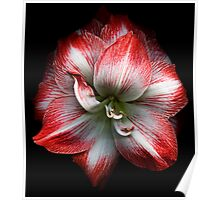 Red and White Amaryllis Poster
