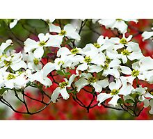 White Flowering Dogwood Blossoms Photographic Print