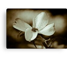 Monochrome Flowering Dogwood Blossom Canvas Print