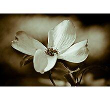 Monochrome Flowering Dogwood Blossom Photographic Print