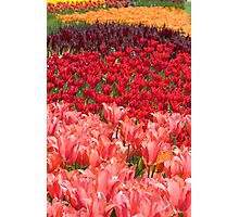 Colorful Tulip Garden Photographic Print