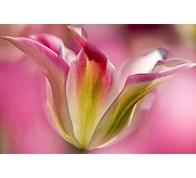 Green and Pink Tulip Photographic Print