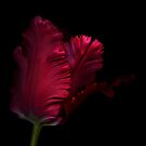Red Parrot Tulip by Oscar Gutierrez