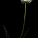 White and Red Parrot Tulip by Oscar Gutierrez