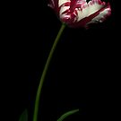 White and Red Tulip I by Oscar Gutierrez