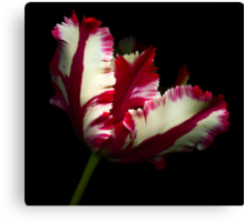 White and Red Tulip II Canvas Print