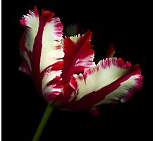 White and Red Tulip II Photographic Print