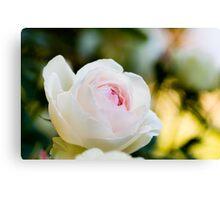 Pale Pink English Rose Canvas Print