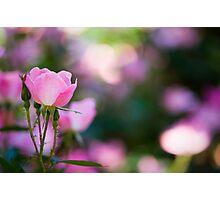 Pink Rose Bush Photographic Print
