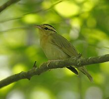 Worm-eating Warbler by Enola-Gay Wagner