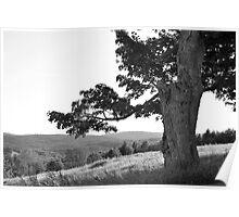 Maple tree on hillside Poster