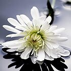 Spider Chrysanthemum, by Doug McRae