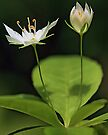 White Starflower by T.J. Martin