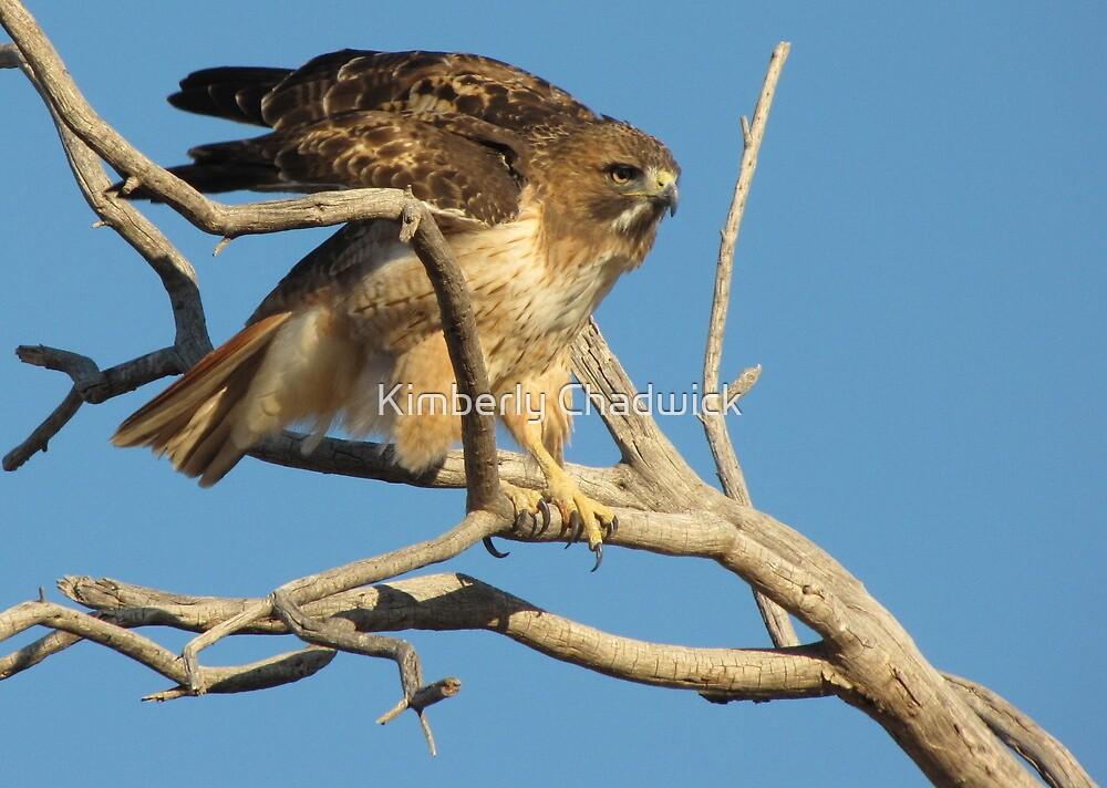 Red-tailed Hawk ~ Adjustment by Kimberly Chadwick