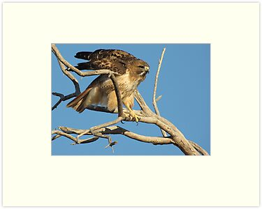 Red-tailed Hawk ~ Adjustment by Kimberly P-Chadwick