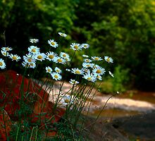 Shasta Daisies along the creek by DHParsons