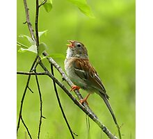 Field Sparrow Photographic Print