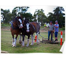 Clydesdales working at Trafalgar, Gippsland Poster