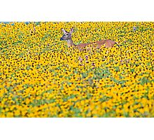 Deer in a Field of Wildflowers Photographic Print