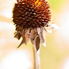 Black-eyed Susan After the Winter by onyonet photo studios