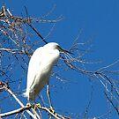 Snowy Egret by Gloria Abbey