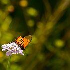Butterfly by Daniel Mulcahy