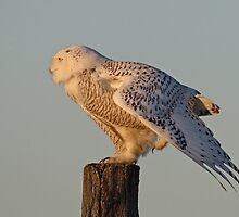 Northern Skater Profile / Snowy Owl  Female by Gary Fairhead
