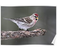 Out On A Limb / Common Redpoll Male Poster