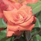 A Beautiful Rose by Dwayne Madden