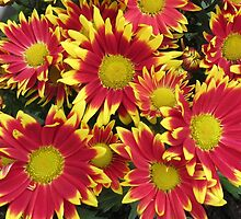 Fiery Orange and Yellow Dahlias by BlueMoonRose
