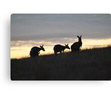 Kangaroos at Sunset - Whittlesea, Victoria Canvas Print