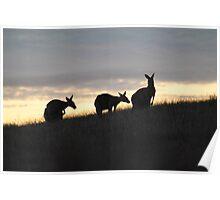Kangaroos at Sunset - Whittlesea, Victoria Poster