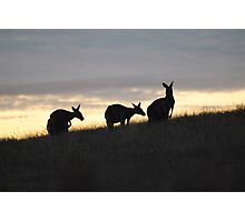 Kangaroos at Sunset - Whittlesea, Victoria Photographic Print