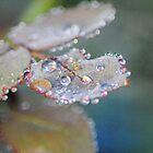 Rose petal raindrops by Heather Samsa