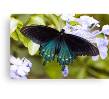Pipevine, Swallowtail Butterfly Canvas Print