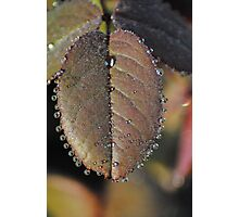 Rose Leaf with Dew Photographic Print
