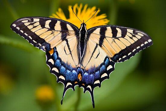 Tiger Swallowtail Butterfly by Oscar Gutierrez