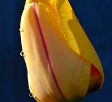 Tulip with Water Drops by Chris Monks