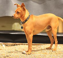 Miniature Pinscher by Stephen Mitchell