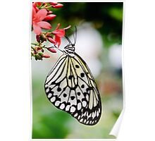 White Butterfly Poster