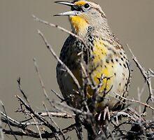 Western Meadowlark by Rob Lavoie