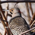Northern Flicker by Dennis Cheeseman