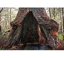 Old Tingle Tree base Photographic Print