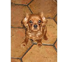 Regal Ruby Cavalier King Charles Puppy Photographic Print