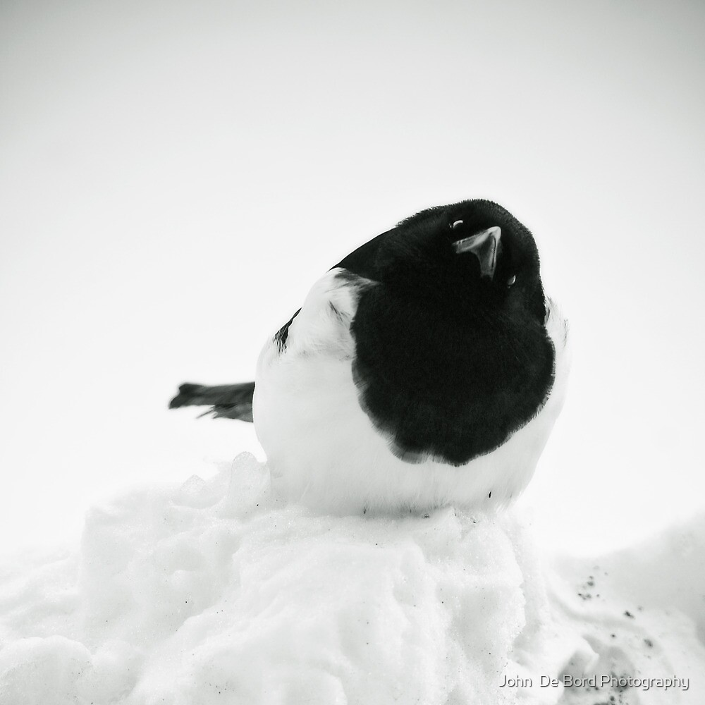 Whodat?---Magpie In Snow by John  De Bord Photography