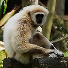 White Gabon Monkey by MacsfieldImages