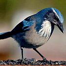 ...WINTER BIRD SERIES by RoseMarie747